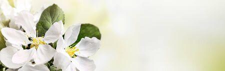 Spring white apple blossoms on pastel green bokeh background Imagens