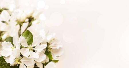 Spring white apple blossoms on pastel creamy bokeh background