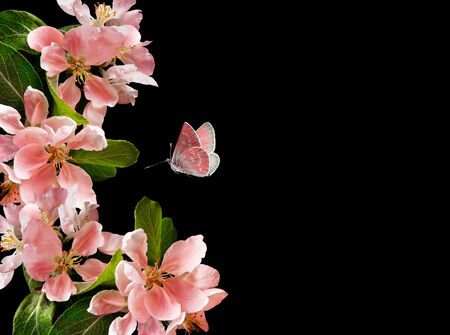 Spring pink apple blossoms with flying butterfly on black background. Copy space
