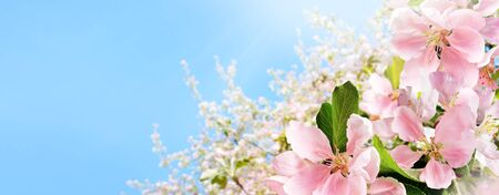 Branches of Blossoming pink apple on light blue sky background in sunlight. Spring nature banner with copy space. Imagens