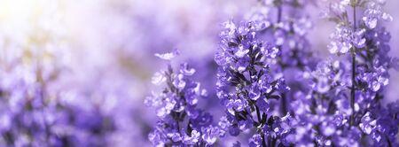 Panorama Purple flowers of salvia field blur summer background. Shallow DOF Foto de archivo - 149570150