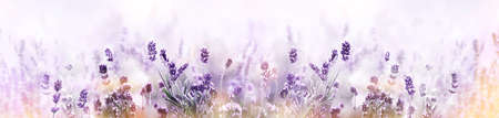 Lavender in flower field wide panoramic view