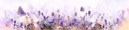 Purple blossoming Lavender and flying butterfly in nature panorama.