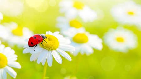 Ladybug on white yellow camomile flowers at spring background 版權商用圖片