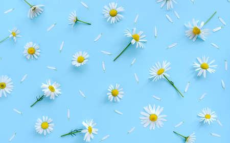 Daisy or camomile flowers on blue background fresh spring pattern. 版權商用圖片