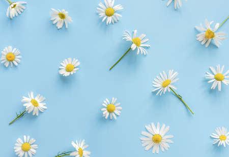 Daisy or camomile flowers on blue background. 版權商用圖片