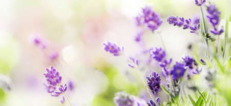 Blooming Lavender on sunny background