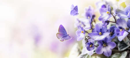Soft Purple flowers of of violet with flying butterfly on blur spring background