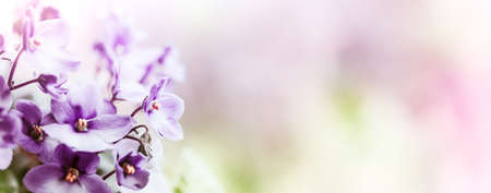 Soft Purple flowers of of violet on blur spring background 版權商用圖片