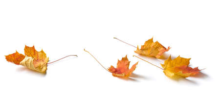 Maple leaves composition isolated on white background