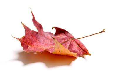 Autumn red maple leaf isolated on white background 版權商用圖片