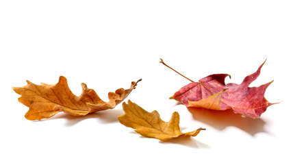 Fallen Oak and maple leaves isolated on white background 版權商用圖片
