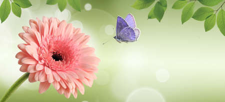 Pink gerbera daisy flower and flying butterfly on green spring background