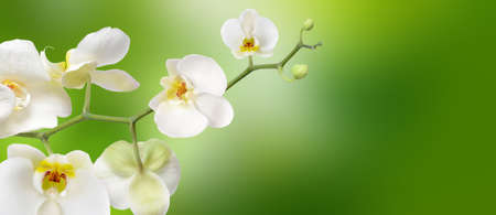 White orchid isolated on green abstract nature background