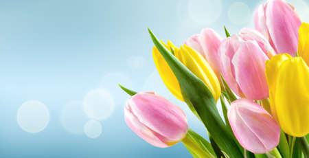 Bunch of yellow and pink tulips on blue blur background 版權商用圖片