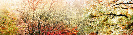 Autumn cherry trees with red leaves background