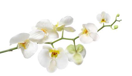 White orchid isolated on white Vektorgrafik