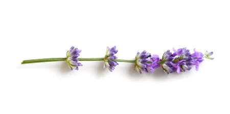 Lavender flower isolated on a white background