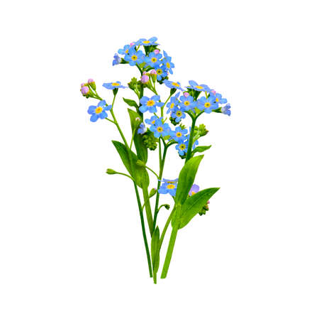 Forget me not flowers bunch isolated on white 版權商用圖片