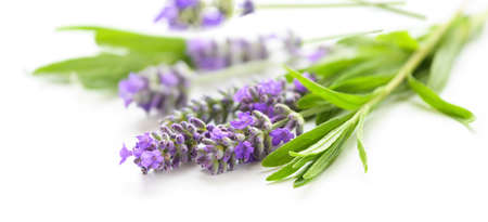 Lavender flowers on a white background close-up