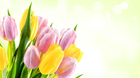 Bunch of yellow and pink tulips on a green blur background