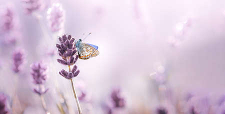 Purple blossoming Lavender and butterfly in nature . Soft focus image with free space.