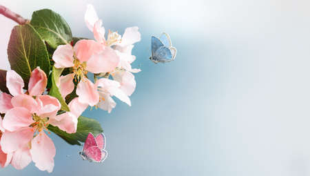 Blossoming pink apple and butterflies on nature. Spring banner, border with copy space.