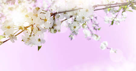 Spring abstract background of blossoming cherry on pink