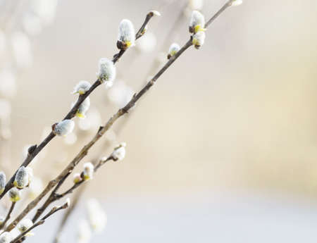Flowering willow at early spring. Happy Easter
