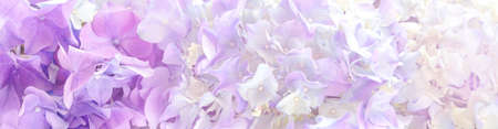 Beautiful purple hortensia Flowers banner or Background.