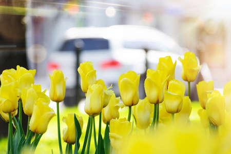 Yellow tulips after rain in the city Standard-Bild
