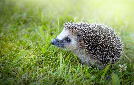 West european hedgehog on a green meadow close-up Standard-Bild