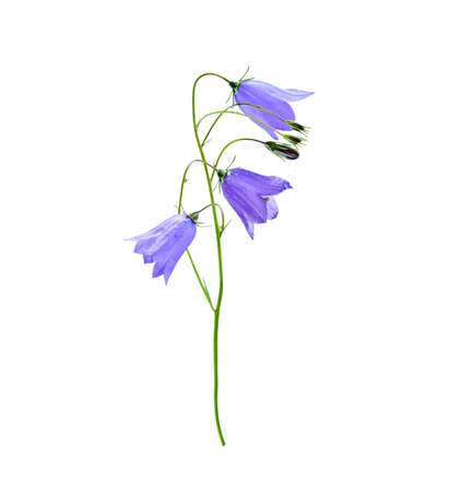 Wild flower bluebell of Campanula persicifolia also known as lilac bluebell, harebell, ladys thimble isolated on white background.
