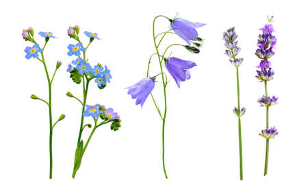 Wild flowers set isolated on a white background. Lavender, bluebell and forget-me-not flowers