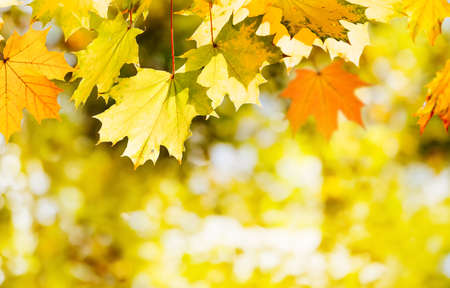 Banner of colorful autumn maple leaves in fall season.