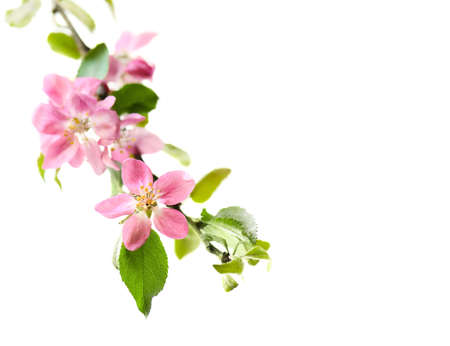 Blossoming pink apple branch . Spring element of banner, border with copy space.