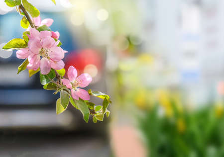 Street photo of apple blossoms in the city.