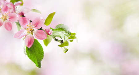 Spring pink apple blossoms on abstract blurred nature background. Spring banner, border with copy space. 写真素材