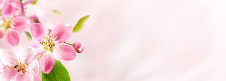 Spring pink apple blossoms on pink blurred nature background. Spring banner, border with copy space. 写真素材