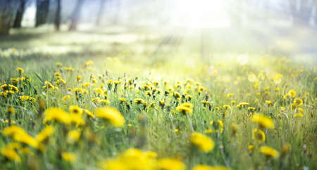 A field of yellow dandelions in a meadow and sunlight