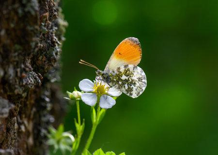 Orange Tip butterfly Anthocharis cardamines on wild strawberry flower . 写真素材