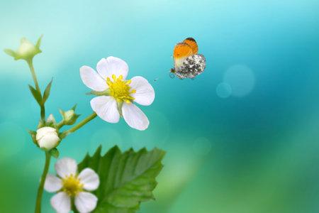 Orange Tip butterfly Anthocharis cardamines flying over wild strawberry flower .