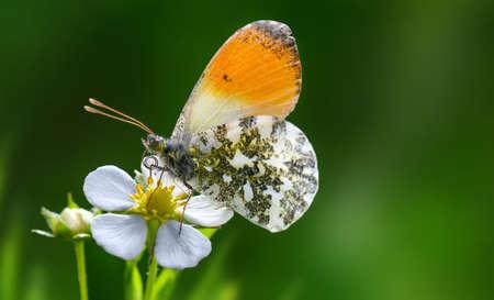 Orange Tip butterfly Anthocharis cardamines on strawberry flower .