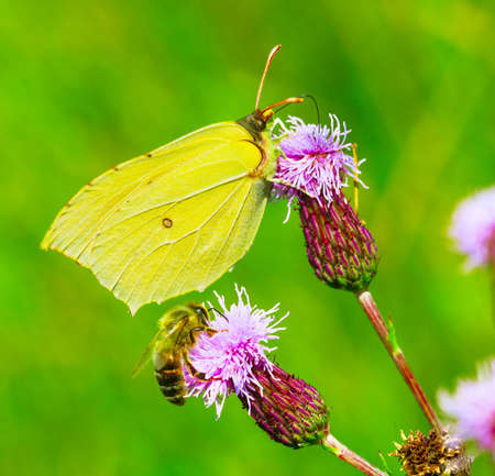 Yellow butterfly and Honey bee collect nectar