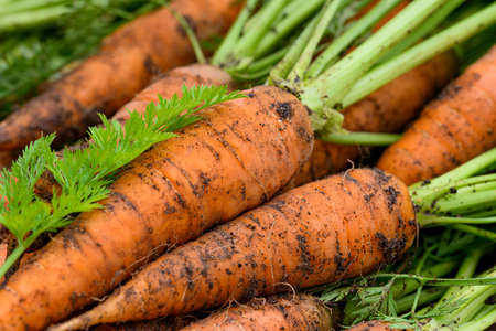Crop of Fresh organic unwashed carrots with tops