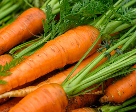 Crop of Fresh organic washed carrots with green tops