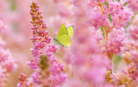 Yellow butterfly on blooming pink astilba flowers. Summer background Banco de Imagens