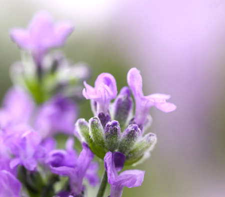 Blooming Lavender flowers close-up . Purple flowers of lavender. Shallow DOF