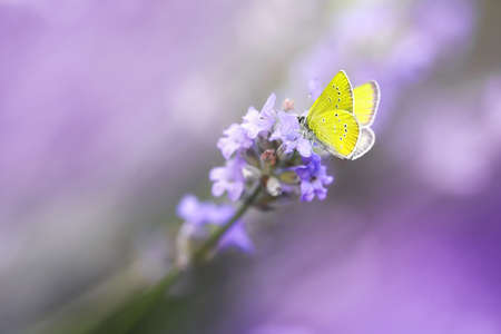 Yellow Butterfly on Blossoming Lavender flower close-up, macro.