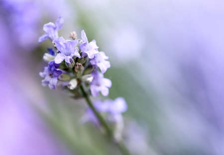 Blooming Lavender flowers close up. Shallow DOF Banco de Imagens